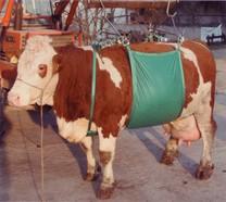 Zvedač krav Daisy Lifter